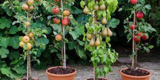 Pomi fructiferi columnari: varietati potrivite pentru spatii mici