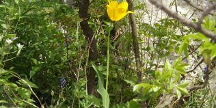 Laleaua galbena salbatica, secretele unei flori-unicat care creste doar in zona Cazanelor Dunarii