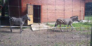 Zebrele Shakira si Opilion, noile locatare ale Gradinii Zoo din Timisoara. Predecesoarea lor a fugit si s-a inecat