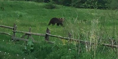 Alerta in statiunea Cheia din Prahova. O ursoaica si puii ei au facut ravagii in gospodarii si pensiuni. A fost convocat Comitetul pentru Situatii de Urgenta